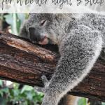 Koala bear sleeping on a tree branch