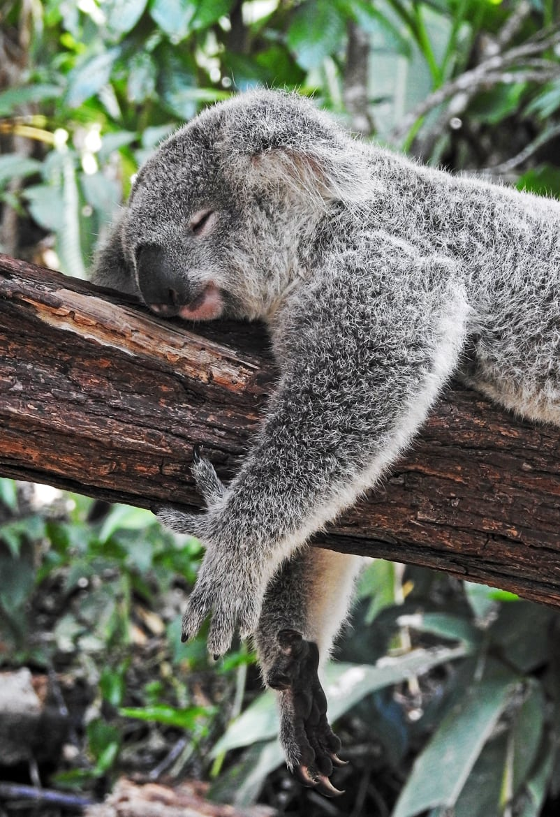 a koala sleeping on a tree branch