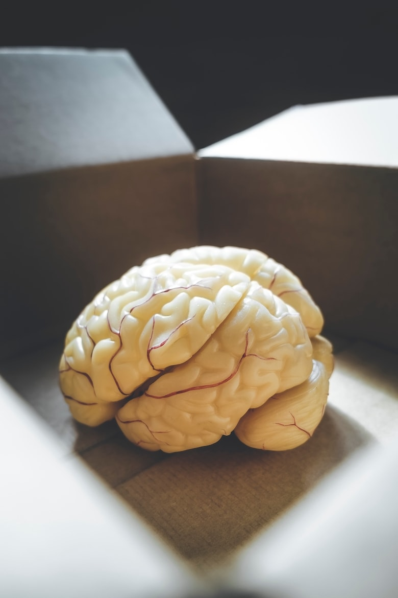 Close-up of human brain anatomical model in an open box